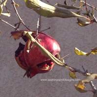 pomegranate picture